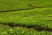 Tea Plantation | Queensland | Australia