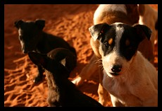 Puppy Dogs | Northern Therritory | Australia